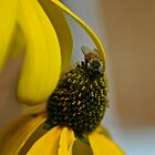 Cut Leaf Rebeccia BEE by Bill Patten