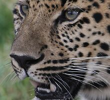 A Leopard Never Changes It's Spots by SmileyShazza