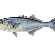 Bluefish (Pomatomus saltatrix) by Tamara Clark