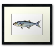 Bluefish (Pomatomus saltatrix) Framed Print