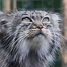 Pallas Cat by SmileyShazza