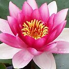 Gorgeous Water Lilly by Angela Gannicott