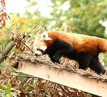 Red Panda by redscorpion