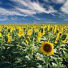 Rebellious sunflower by evidentphotos