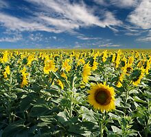Rebellious sunflower by David Anderson