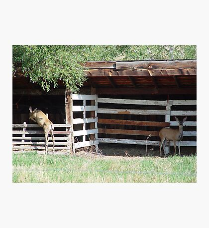 Muley Doe and Hybrid Daughter Photographic Print