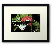 Cairns Birdwing Framed Print