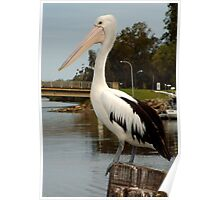 Pelican on a pier Poster