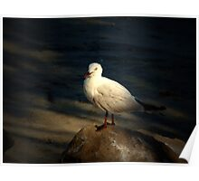 Gull on a rock Poster