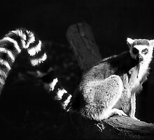 Ringtail Lemus by Eve Parry
