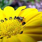 Australian Native Bee by Kathie Nichols