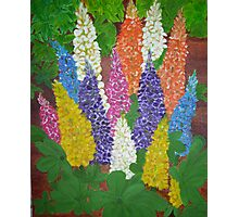 Garden  Lupine Photographic Print