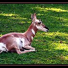 PRONGHORN ANTELOPE by BOLLA67