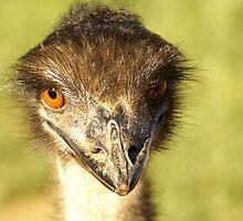 Emu at Garden Route by Sturmlechner