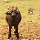 Buffalo Calf with Warthog behind by Sturmlechner