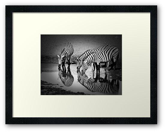 Zebras pause by Saka