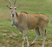 Female Eland by Ginny York