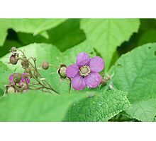 Purple-Flowering Rasberry (Rubus odoratus) Photographic Print