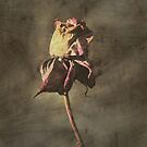 Textured Rose by GailD