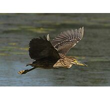 A Juvenile Black-crowned Night Heron In Flight Photographic Print