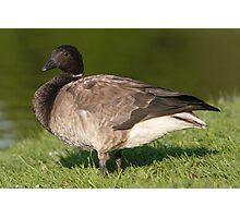 A Brant Goose 2 Photographic Print