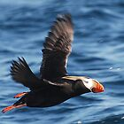 Flying Puffin by Richard Shakenovsky