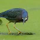 Green Heron Stalking by gregsmith