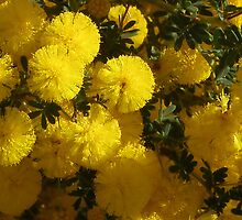 Up close and personal to a........ Wattle flower by georgieboy98