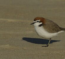 Red Cap Plover by UncaDeej