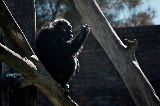 The Chimpanzee Contemplates by Brendan Henry