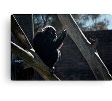 The Chimpanzee Contemplates Canvas Print