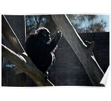 The Chimpanzee Contemplates Poster