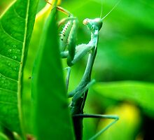 The Crying Mantis by Julie Moore