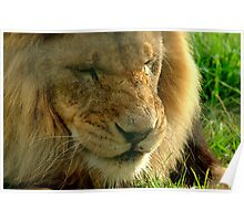 Lion at Melbourne Zoo VIII Poster