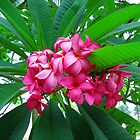 Frangipani inflorescence by doreeN Zhang