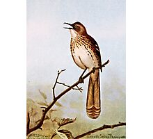 Brown Thrasher Bird Art Photographic Print