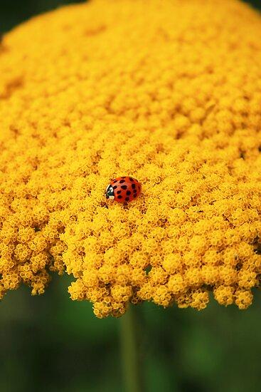 Ladybug by Steve Woods