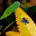 Jumping-Spider jewel by beeater