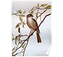 Chipping Sparrow Perching Poster