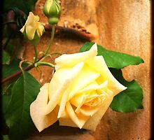 Yellow Rose by Laura Cameron