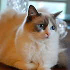 Lady Lily-Rose...A Sweet, Sweet Ragdoll by Carol Clifford