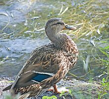 Young Mallard by Mike Oxley