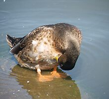 Duck : I know I have put it somewhere by Kevin Rowan