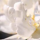 double white tulip by Anna Goodchild