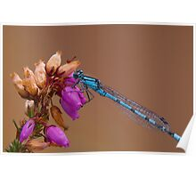 Female Common Blue Damselfly Poster