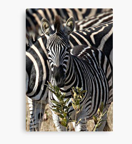 Zebra Stripe Confusion Canvas Print