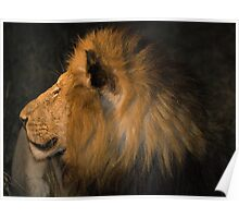 Male Lion Portrait - Night Poster