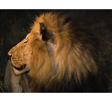 Male Lion Portrait - Night Photographic Print