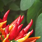 Chilli Peppers by Robert Jenner