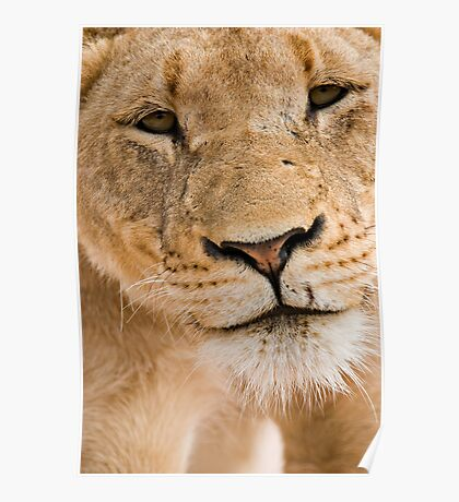 Lioness Close up Poster